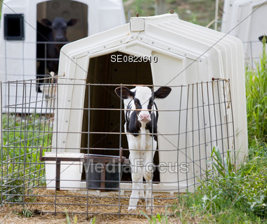 One of Many Calves in Cages on a Farm Stock Photo