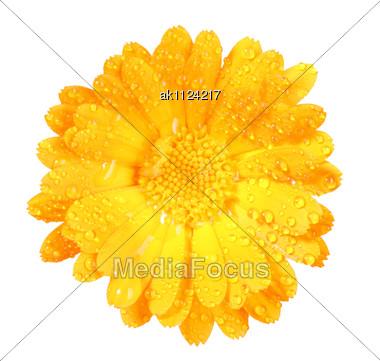 One Orange Flower Of Calendula With Dew Close-up Studio Photography Stock Photo