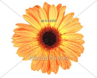 One Orange Flower With Dew Close-up Studio Photography Stock Photo