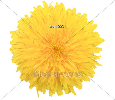 One Yellow Flower Of Dandelion Close-up Studio Photography Stock Photo