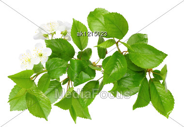 Only Branch Of Plum Tree With Green Leaf And White Flowers Close-up Studio Photography Stock Photo