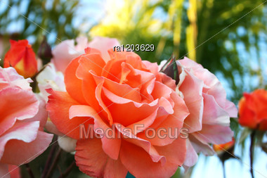 Orange And Pink Roses Close Up Picture. Stock Photo