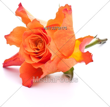 Orange Rose Isolated On White Background Cutout Stock Photo