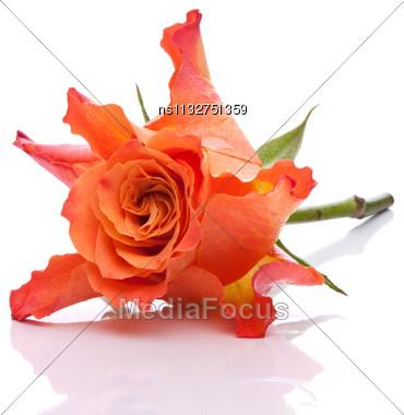 Orange Rose Isolated On White Background Cutout Stock Photo