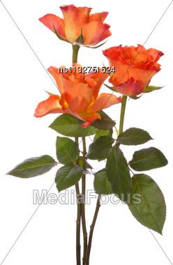 Orange Roses Isolated On White Background Cutout Stock Photo