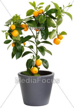 Orange Tree In Flower Pot Stock Photo