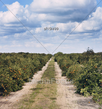 Orange Trees With Fruits In Florida Plantation Stock Photo