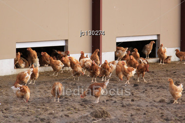 Organic Farm Chickens And Hens Raised Outdoors Stock Photo