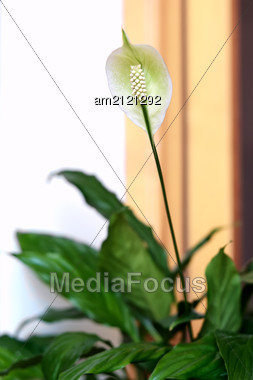 Ornamental White Spathiphyllum Flower, Otherwise Known As The Peace Lily, Growing Indoors In A Pot On A Windowsill Stock Photo