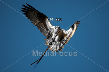 Osprey Carrying A Long Stick To His Nest Stock Photo