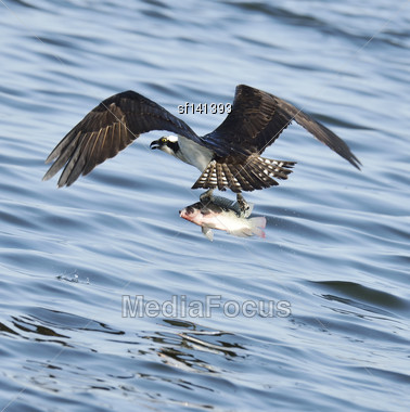 Osprey Catching Fish In Florida Lake Stock Photo