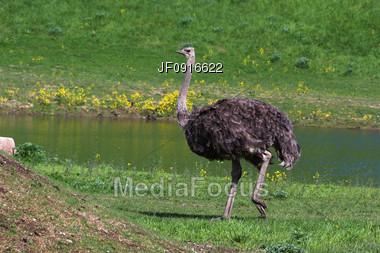 Ostridge Stock Photo