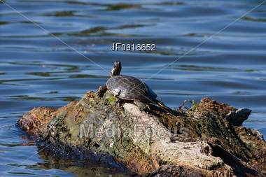 Painted Turtle Floating on a Rotting Log Stock Photo
