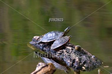 Stock Photo Painted Turtle Floating On Rotting Log - Image