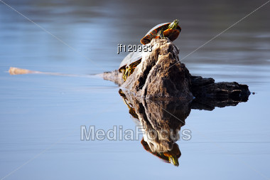 Painted Turtle On A Floating Tree Core. Stock Photo