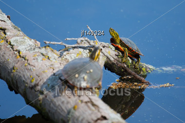 Painted Turtles Basking In The Sun On A Log Stock Photo