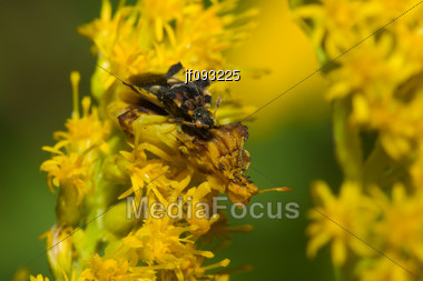 A Pair Of Ambush Bugs (Phymata Erosa) Mating In Goldenrod Flowers Stock Photo