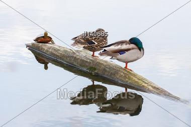Pair Of Mallards And Turtle On The Autumn River Stock Photo