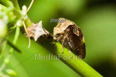 A Pair Of Shield Bugs On A Plant Stock Photo