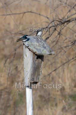 Pair of Purple Martins on Bird House Stock Photo