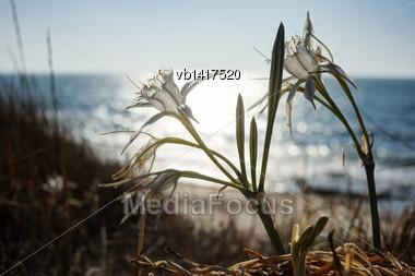 Pancratium Maritimum, Large White Flower On The Mediterranean Coast Stock Photo