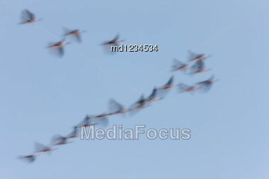 Panned Image Of Birds In Sky Saskatchewan Canada Stock Photo