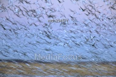 Panned Image Of Birds In Sky Saskatchewan Canada Snow Geese Stock Photo