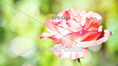 Panoramic Floral Backgrounds With Pink Flower And Beauty Bokeh Stock Photo