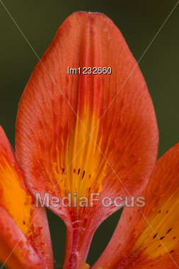 Part Of A Red Lily And The Green Background Stock Photo