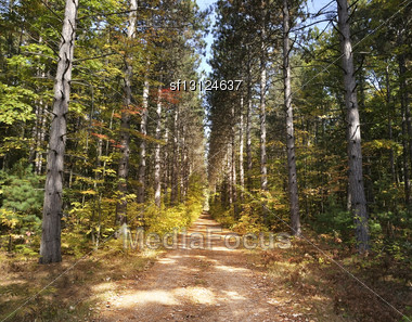 Path Through Tall Pine Trees Forest Stock Photo