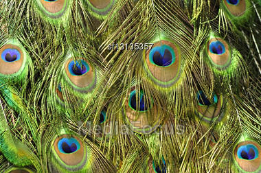 Peacock Feathers ,close Up Shot Stock Photo