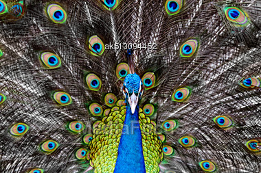 Peacock In The Thailand Zoo Stock Photo