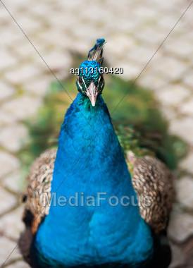 Peafowl Or Peacock: Bird Of Juno. Animal Life Of Asia Stock Photo