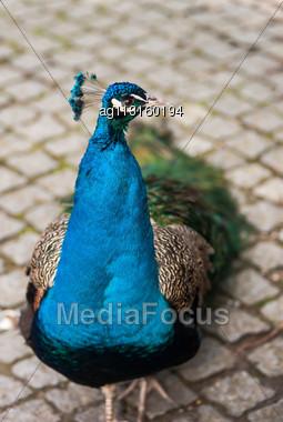 Peafowl Or Peacock: Bird Of Juno. Artistic Shallow DOF. Focus On The Head Stock Photo