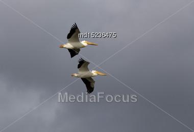Pelicans In Flight Gray Sky Clouds Canada Stock Photo