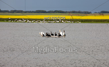 Pelicans In A Pond Saskatchewan Canada Group Stock Photo