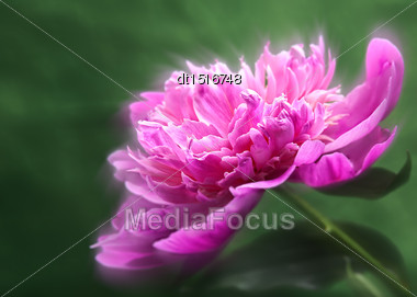 Peony Flower Over Abstract Green Backgrounds. Floral Wallpapers With Beauty Bokeh Stock Photo