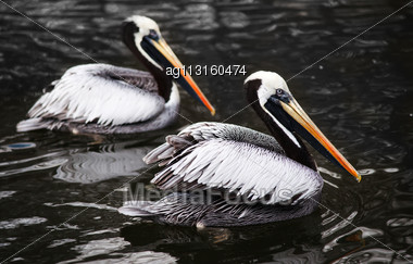 Peruvian Pelicans In The Water: Birds From West Coast Of South America Stock Photo