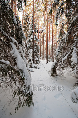 Pine And Spruce Forest Covered By Snow Stock Photo