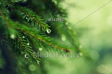 Pine Tree With Morning Dew On The Twig, Abstract Natural Backgrounds Stock Photo