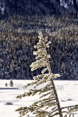 Pine Tree In Winter Snow Covered Alberta Stock Photo