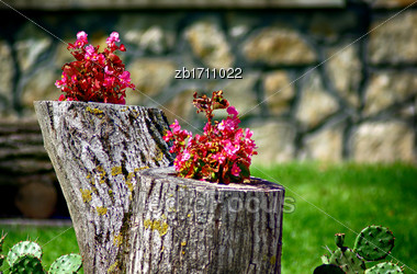 Pink Begonia Growing In Stump At Sunny Summer Day Stock Photo