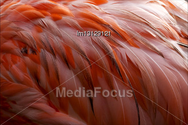 Pink Flamengo Plumage Abstract In Republica Dominicana Stock Photo