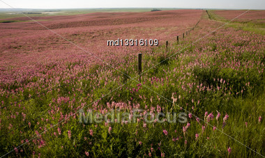 Pink Flower Alfalfa Crop In Saskatchewan Canada Stock Photo