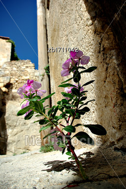 Pink Flower Is Growing From Crack At Street At Sunny Summer Day Stock Photo