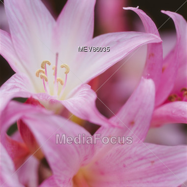 Stock Photo Pink Flowers Lily Bella Donne Image Mev86035 Pink