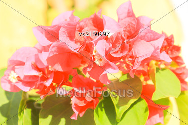 Pink Flowers At Sun Light. Flowers On Green Background Stock Photo