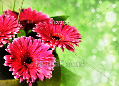Pink Gerber Flowers Over Abstract Green Backgrounds With Bokeh Stock Photo
