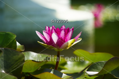 Pink Lotus In Pond .Flowers Card Background Stock Photo