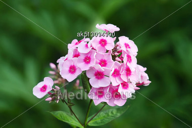 Pink Phlox Flowers In The Green Garden Stock Photo